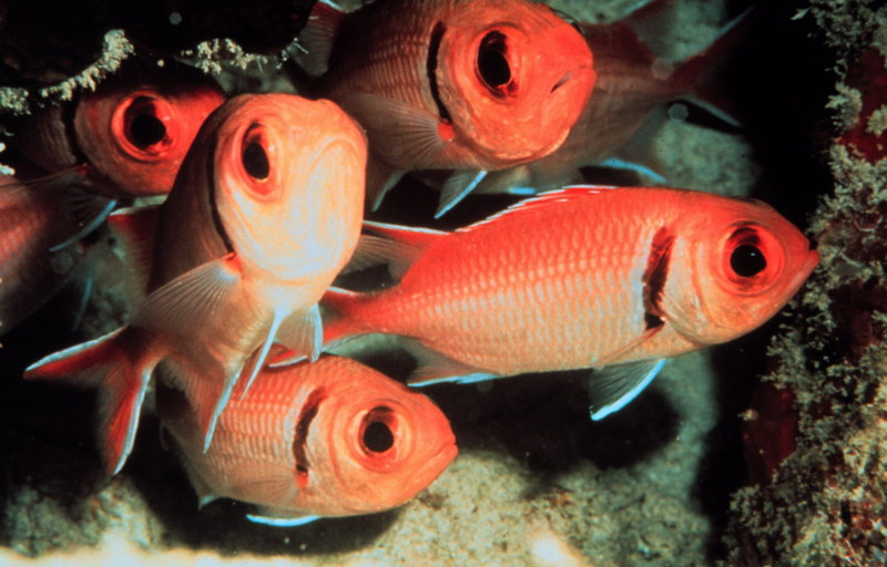 Blackbar Soldierfish (Myripristis jacobus) <!--얼게돔-->; DISPLAY FULL IMAGE.