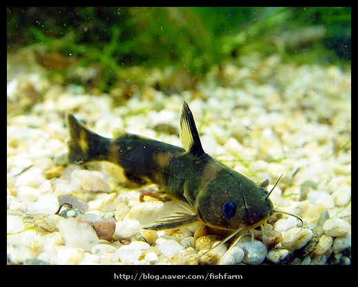 꼬치동자개 Pseudobagrus brevicorpus (Korean stumpy bullhead); Image ONLY