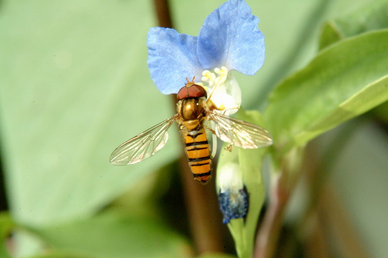 호리꽃등에 Episyrphus balteatus (Marmelade hoverfly); DISPLAY FULL IMAGE.