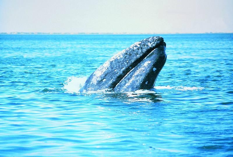 Gray Whale, Alaska.jpg