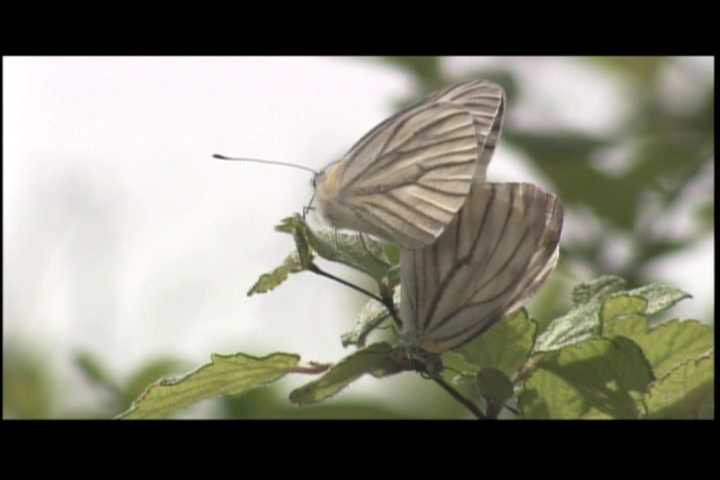 큰줄흰나비(짝짓기) Pieris melete (Gray-veined White Butterfly); Image ONLY