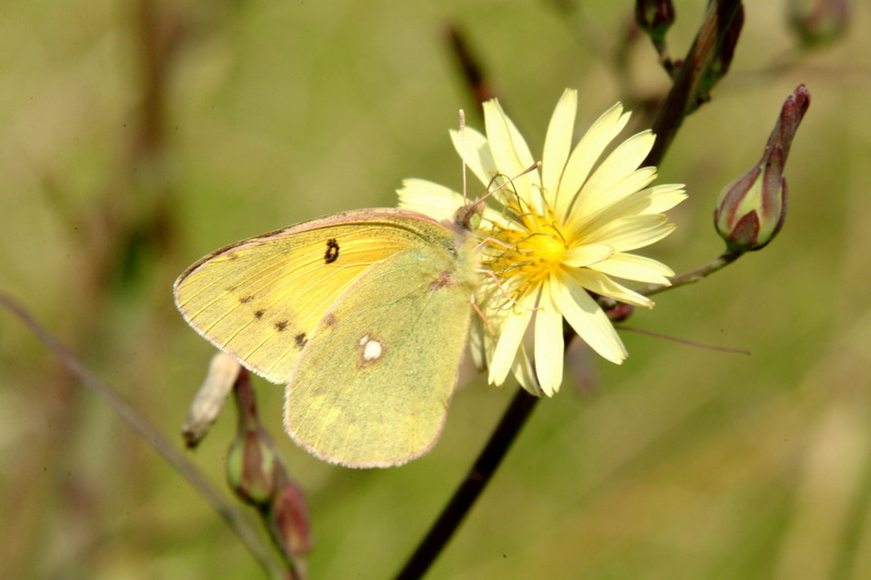 노랑나비 Colias erate (Eastern Pale Clouded Yellow); DISPLAY FULL IMAGE.