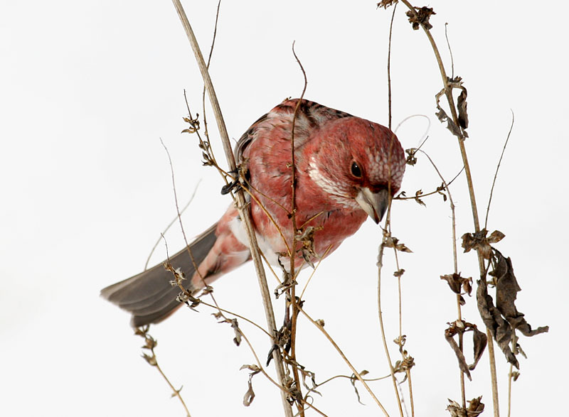 양진이 / 수컷 | 양진이 Carpodacus roseus (Pallas's Rosefinch); Image ONLY