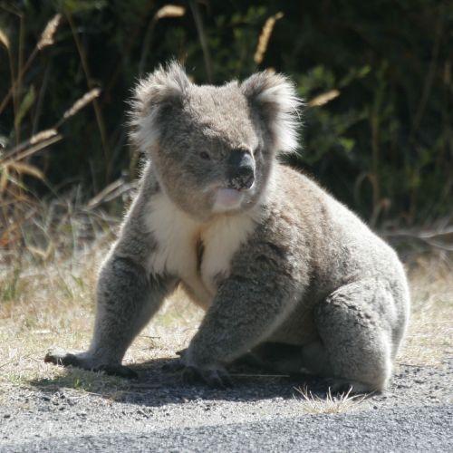 코알라 (Koala); Image ONLY