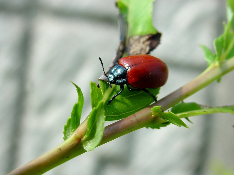 사시나무잎벌레 Chrysomela populi (Red Poplar Leaf Beetle); DISPLAY FULL IMAGE.