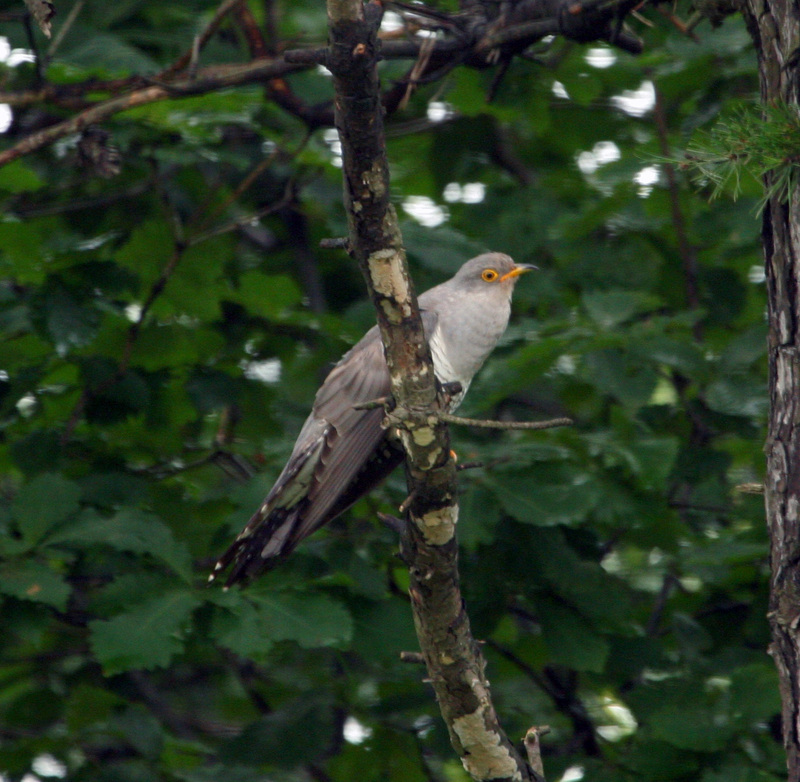Common Cuckoo(뻐꾸기); DISPLAY FULL IMAGE.