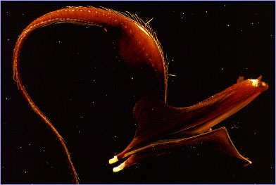 꿀꺽장어 (gulper eel); Image ONLY