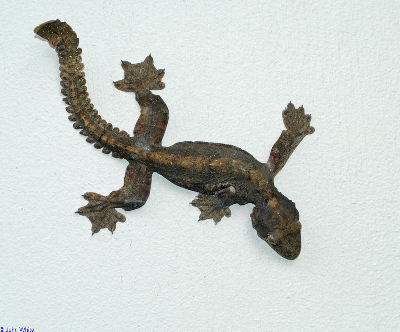 Lizards - Flying Gecko (ptychozoon kuhli)100; DISPLAY FULL IMAGE.
