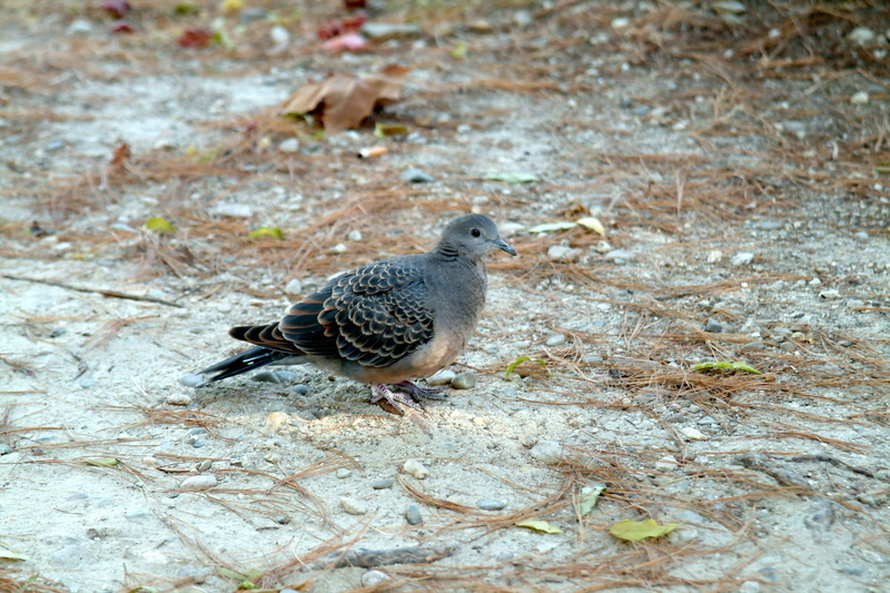 멧비둘기 Streptopelia orientalis (Oriental Turtle Dove); DISPLAY FULL IMAGE.