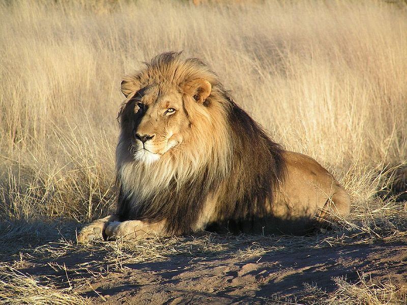 African Animals: Lion; Image ONLY