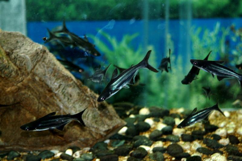 Pangasius hypophthalmus iridescent shark for Swai fish wiki