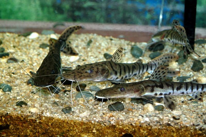 ... (Tiger Shovelnose Catfish, Barred Sorubim); DISPLAY FULL IMAGE