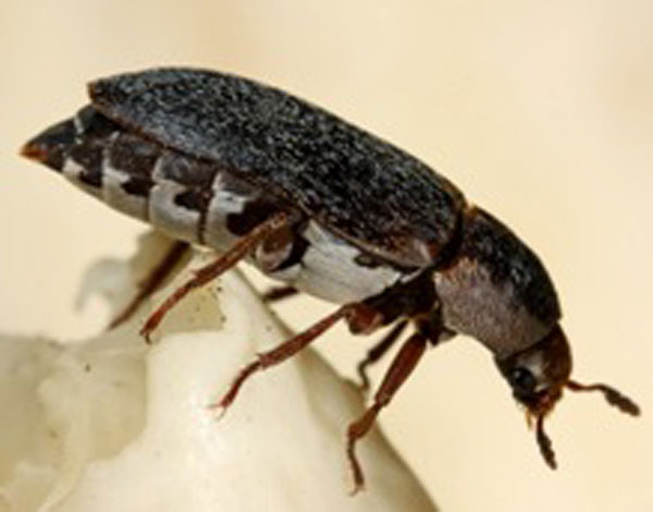 Scent of Sex and Death Attracts Young Female Beetles [LiveScience 2012-08-13]; Image ONLY