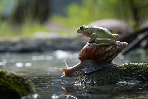 20130115 달팽이 탄 개구리, 인도네시아.jpg