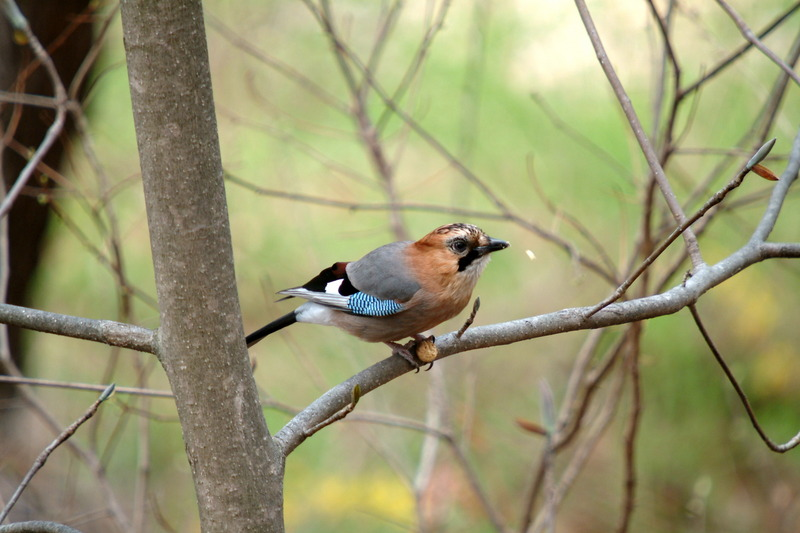 어치 - Eurasian Jay - 산까치, 언치 - Garrulus glandarius; DISPLAY FULL IMAGE.