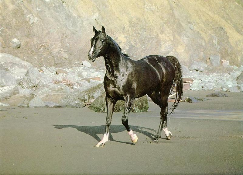 Domestic Horse (Equus caballus) <!--말--> - Black horse; DISPLAY FULL IMAGE.