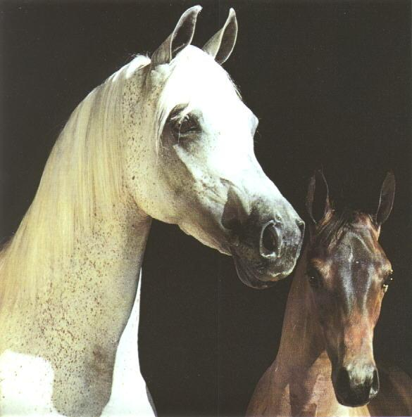 Domestic Horses (Equus caballus) <!--말--> mare and foal; Image ONLY