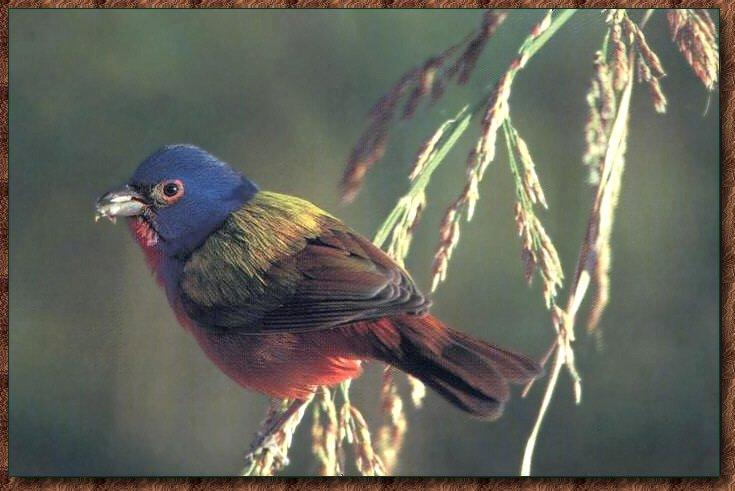 Painted Bunting (Passerina ciris) <!--오색멧새--> - Photo by: John Snyder; Image ONLY