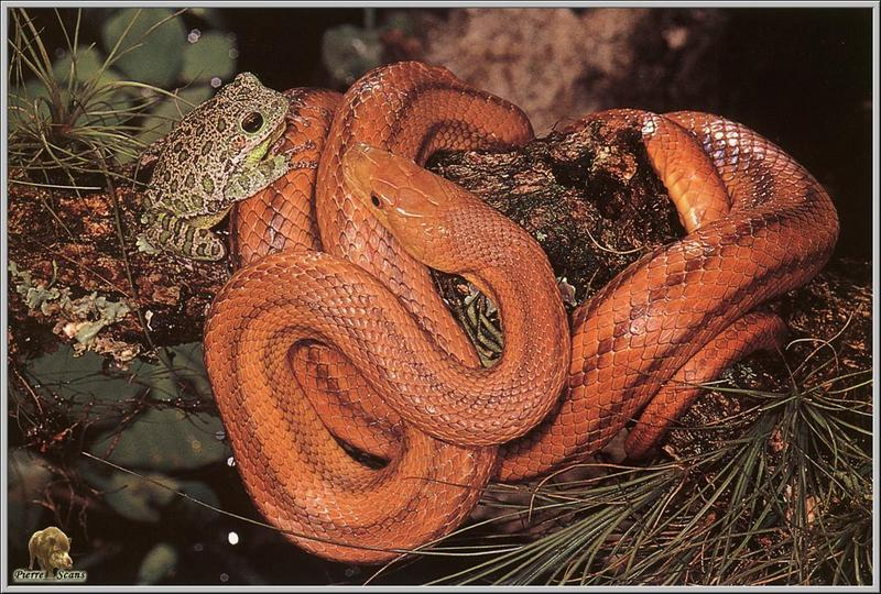 [Pierre Scans] Reptiles: Frog and Snake of Everglades; DISPLAY FULL IMAGE.