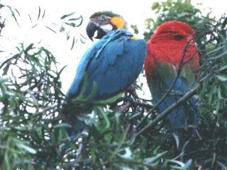 Blue-and-yellow macaw (Ara ararauna) <!--청황금강앵무-->; Image ONLY