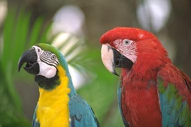 Blue-and-yellow macaw (Ara ararauna) <!--청황금강앵무--> and Green-winged Macaw; Image ONLY
