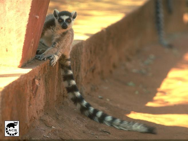 Ring-tailed Lemur (Lemur catta) <!--알락꼬리여우원숭이-->; Image ONLY