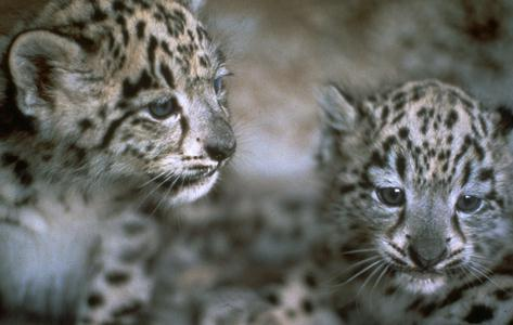 Snow Leopards (Uncia uncia) <!--설표--> - cubs; Image ONLY