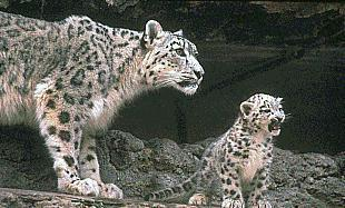 Snow Leopards (Uncia uncia) <!--설표--> - mother and cub; Image ONLY
