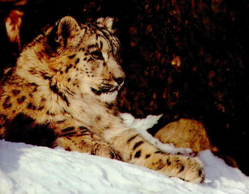 Snow Leopard (Uncia uncia) <!--설표-->; DISPLAY FULL IMAGE.