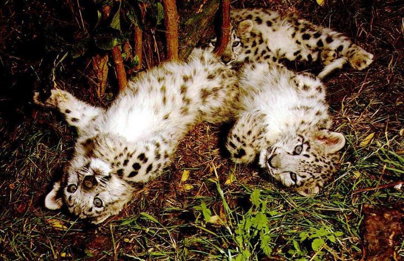 Snow Leopards (Uncia uncia) <!--설표--> - cubs; DISPLAY FULL IMAGE.