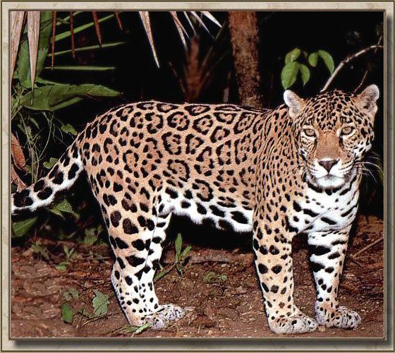 Jaguar (Panthera onca) <!--재규어-->; Image ONLY