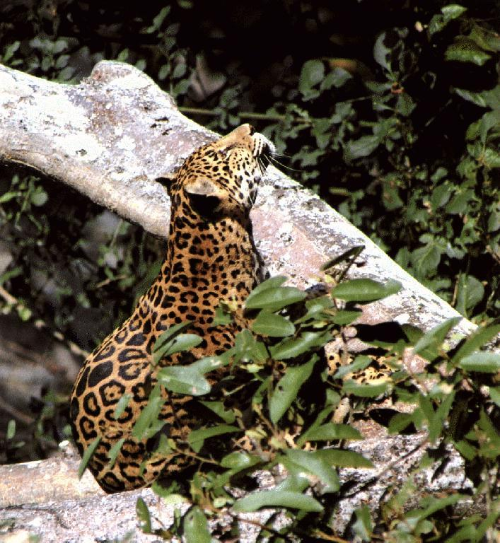 Jaguar Felis Onca: Jaguar (Panthera Onca) {!--재규어-->; Image ONLY