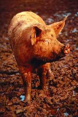 Pig0003-White Domestic Pig-on muddy ground.JPG