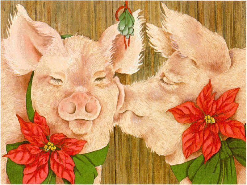 Pig Xmas Love-White Domestic Pigs-face closeup.jpg