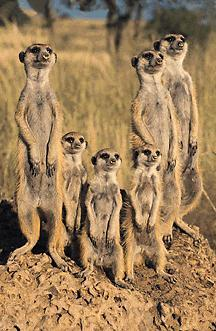 Meerkat Pack-On Small Hill-meercats.jpg