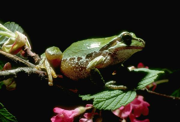 Tree Frog; Image ONLY
