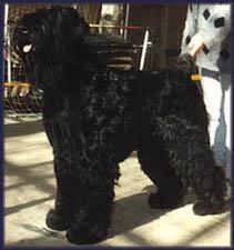 Black Dog-Bovier De Flanders-l12.jpg