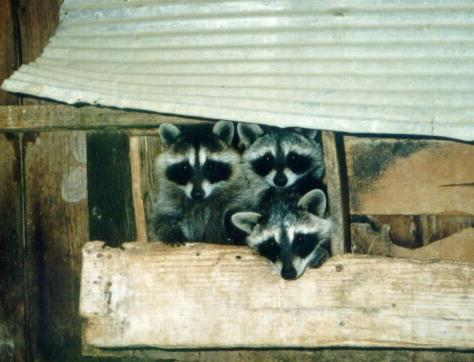 Northern Raccoon (Procyon lotor) <!--아메리카너구리--> trio; Image ONLY