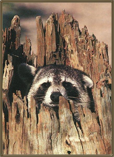 Wild Northern Raccoon (Procyon lotor) <!--아메리카너구리-->; Image ONLY