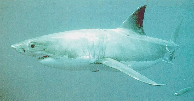 Great White Shark (Carcharodon carcharias) {!--백상어|백상아리-->; Image ONLY