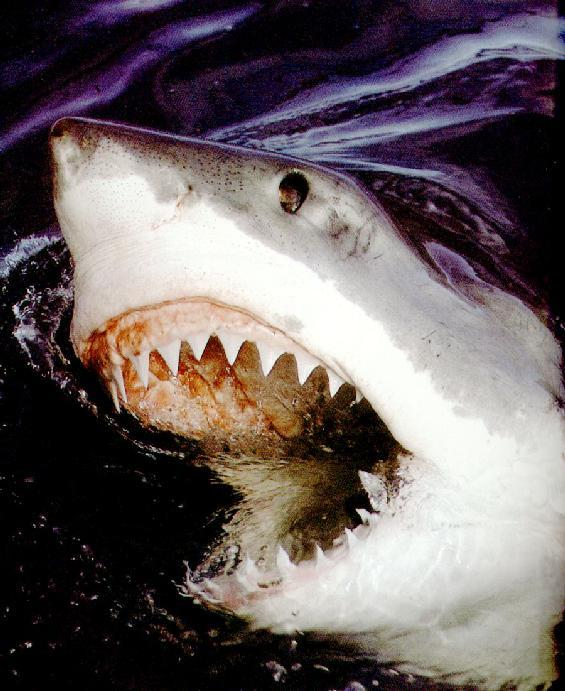 Great White Shark (Carcharodon carcharias) <!--백상어|백상아리-->; Image ONLY