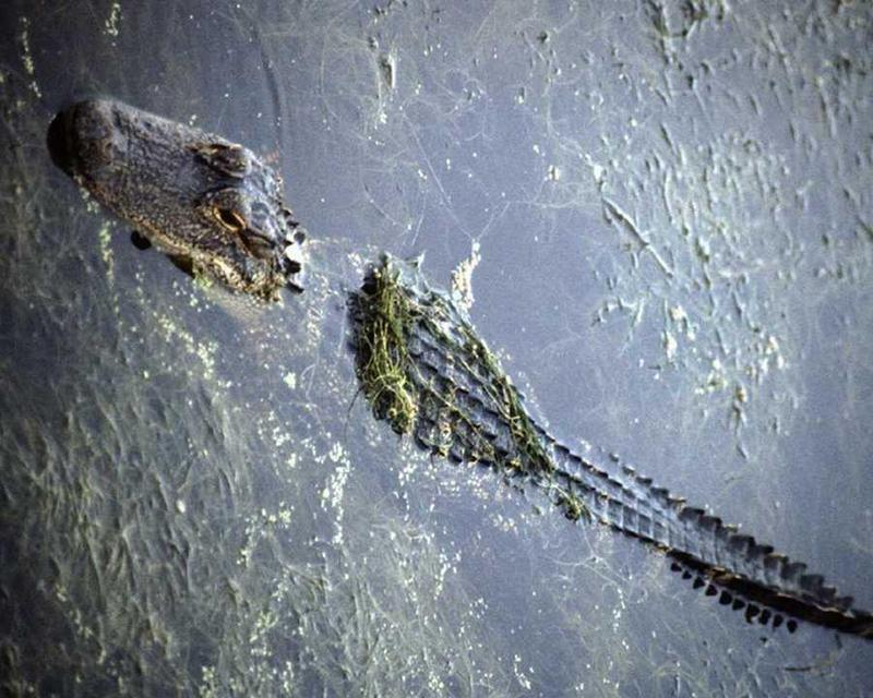 Alligator <!--악어-->; DISPLAY FULL IMAGE.