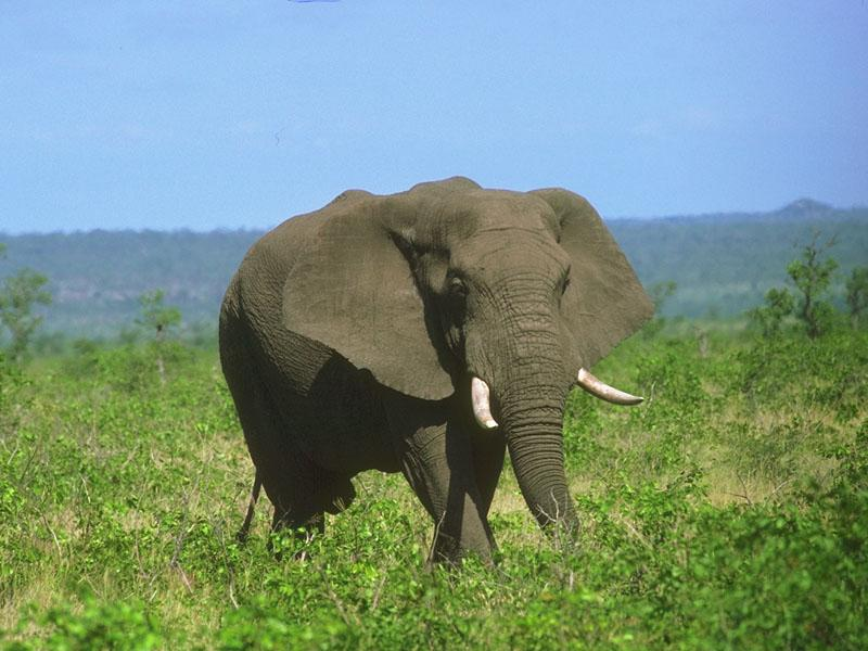 African Elephant (Loxodonta africana) {!--아프리카코끼리-->; Image ONLY