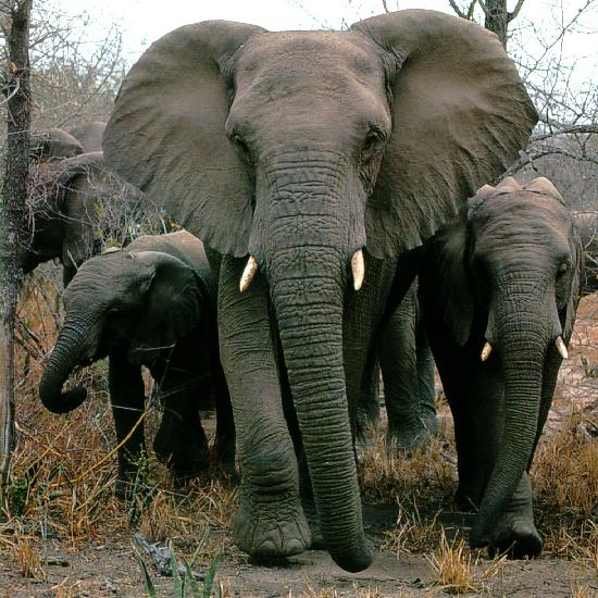 South African Bush Elephant (Loxodonta africana africana) <!--덤불코끼리(아프리카코끼리 아종)-->; Image ONLY