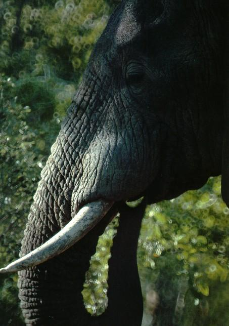 afwld024-South African Elephant-Face Closeup.jpg