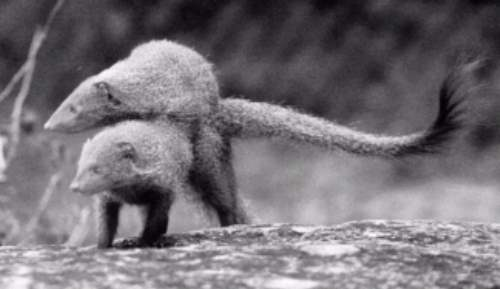 Mating Mongoose pair <!--몽구스, 교미-->; Image ONLY