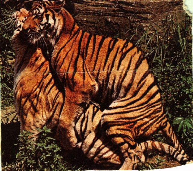 Mating Tiger pair {!--호랑이, 교미-->; Image ONLY