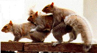 [Funny] Mating Squirrels; Image ONLY