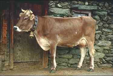Domestic Cattle (Bos taurus) <!--소-->; Image ONLY