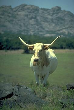 Domestic Cattle (Bos taurus) Longhorn Steer {!--소/롱혼 품종 ...
